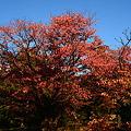 山桜の色づき