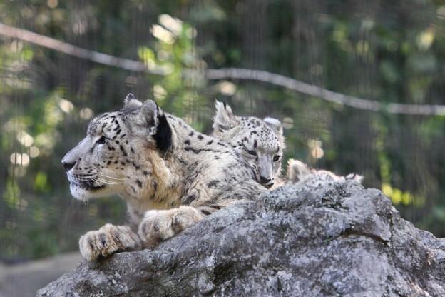 多摩動物公園111029-ユキヒョウの子供達 マユとスカイくん-01