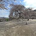 麻績の里 「舞台桜」