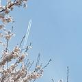 桜前線、信州通過中~♪