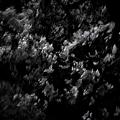 写真: 交差点待ちの夜桜。