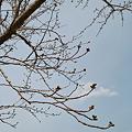 Photos: Cherry_Blossom_buds04022012dp2-01