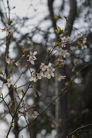 Cherry_Blossoms04082012sd15-03