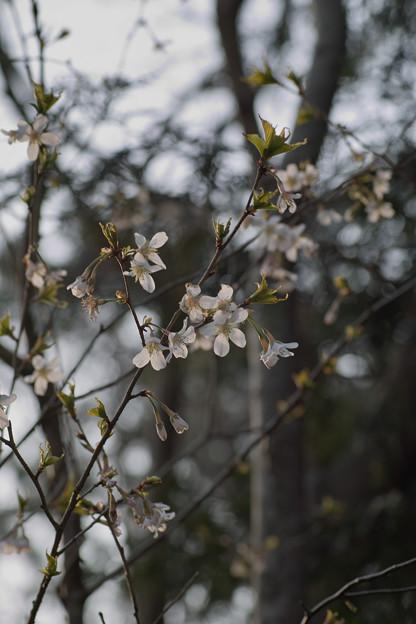 Photos: Cherry_Blossoms04082012sd15-03