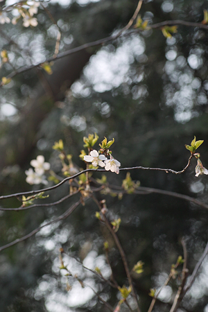 Cherry_Blossoms04082012sd15-04