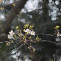 Photos: Cherry_Blossoms04082012sd15-04
