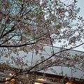 Cherry_Blossoms04112012dp2-02