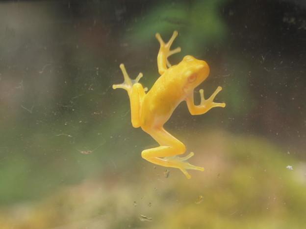 黄金の蛙(1)