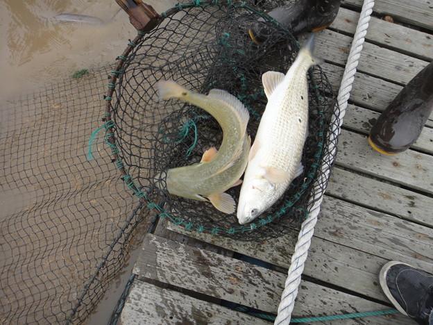 養殖 美国紅魚 (1)