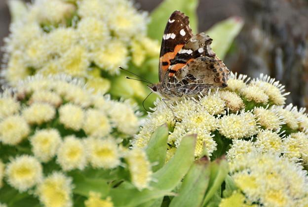 今年初めてのアカタテハ蝶