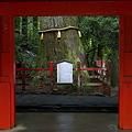 Photos: 安産杉