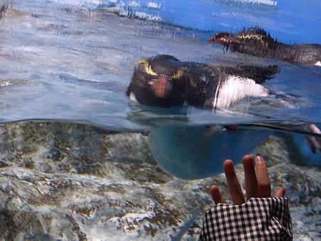 20111223 鴨川 水中イワトビ02