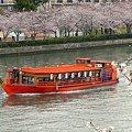 写真: 屋形船、花見酒
