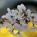 連翹の上の桜
