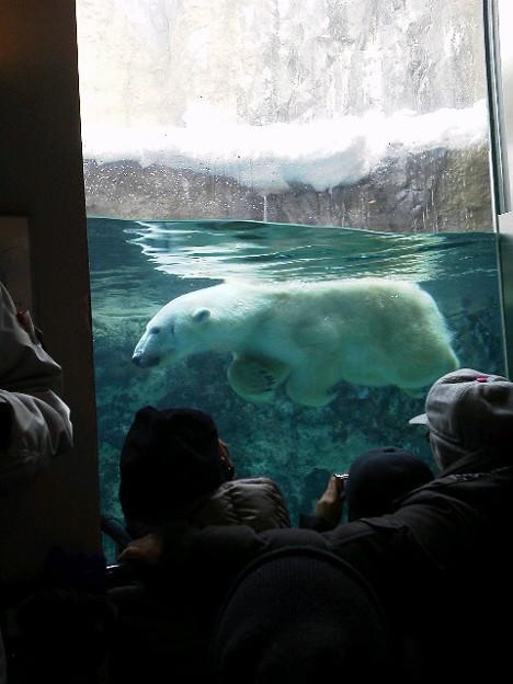 旭山動物園の北極熊