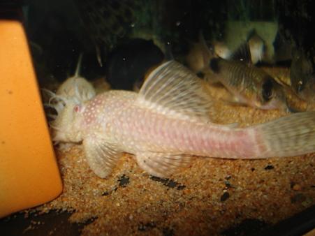 20111017 45cmプレコ水槽のアルビノミニブッシー