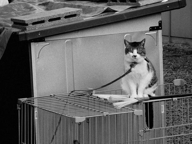 繋がれた猫
