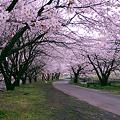 Photos: 桜並木道