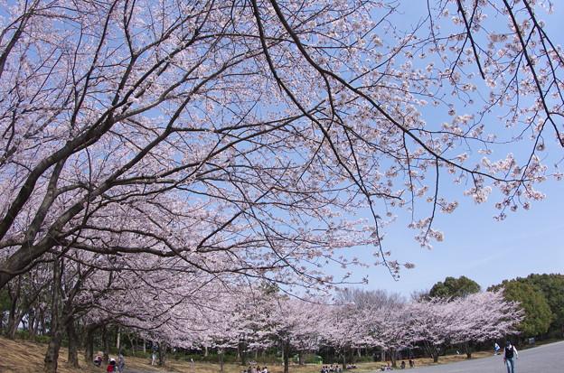 Photos: 都筑区東方公園の桜