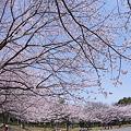 都筑区東方公園の桜