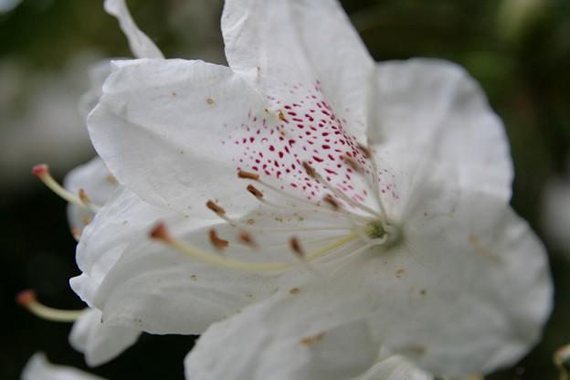 IMG_5453當麻寺・西南院・西南院庭園・石楠花