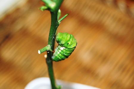 2011年09月10日_DSC_1157キアゲハの前蛹