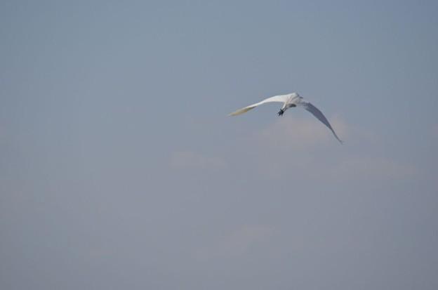 愛知県知多湾上空を飛ぶ鷺2