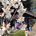 Photos: 偕楽園