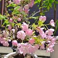 写真: 我が家の桜が超見頃です!
