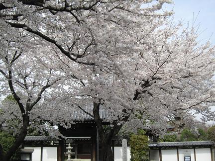 大昌寺参道の桜−3