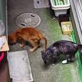 写真: 2012年7月8日の茶トラのボクチン(8歳)とクロちゃん(1歳)