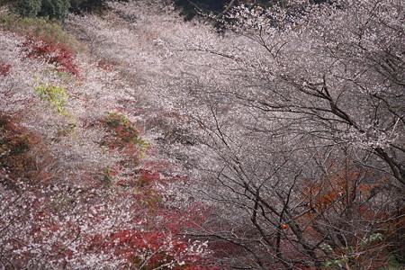 小原の四季桜8