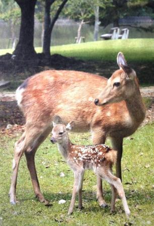 小鹿_奈良公園の小鹿のバンビちゃん♪   ☆ヒペリカムが好き☆ ...