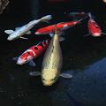 Photos: 春待つ錦鯉