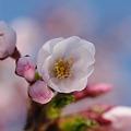 桜の開花宣言
