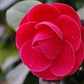 Photos: 春雨に椿咲く