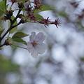 Photos: 桜の終わりに