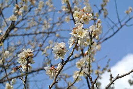 昼の梅の花