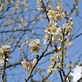 Photos: 昼の梅の花