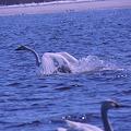 Photos: 稚内大沼の白鳥