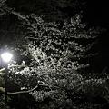 Photos: 夜桜(東京)
