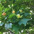 Tulip Tree 7-4-11
