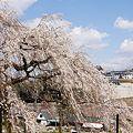写真: 奥山田枝垂れ桜4