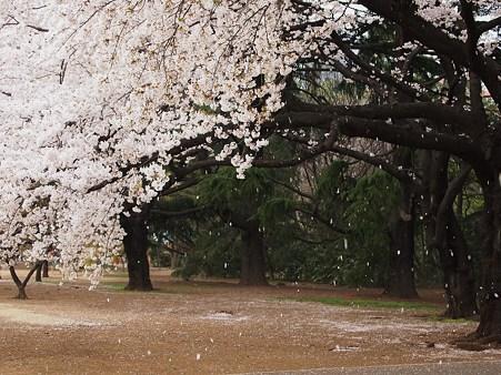 風に乗り、届ける桜色