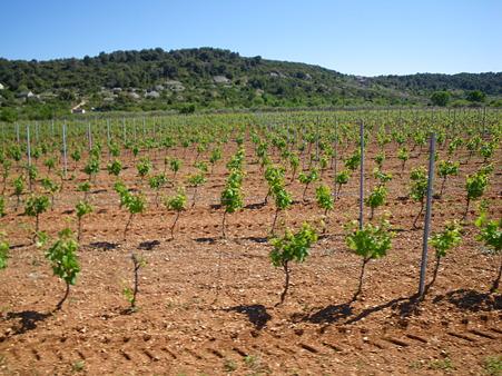 新型ワインの木