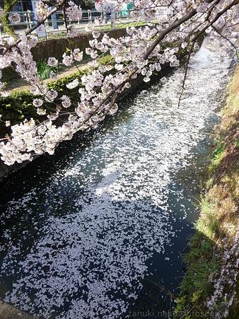 120412-千本桜 (114)