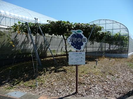 110906-浜松フルーツパーク ブドウ (1)