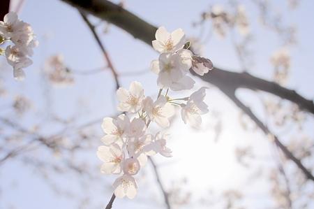 すけるさくらの花びら