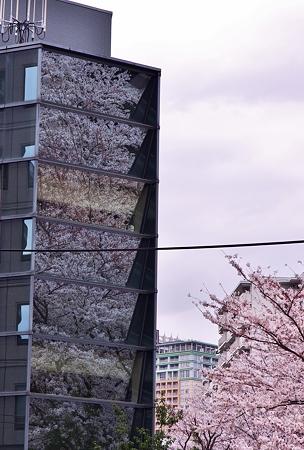 いずこも桜満開。