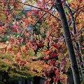 Photos: 北国の街路樹4